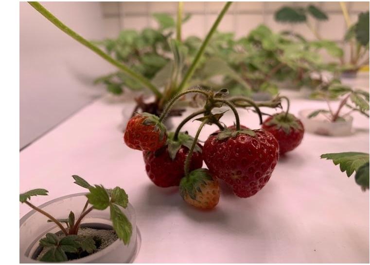 Выращивание земляники в домашней садовой ферме
