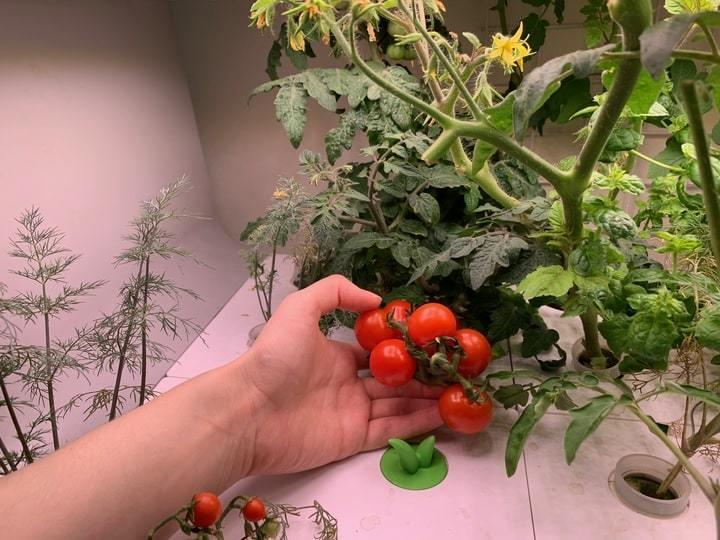 Выращивание томатов в кухонной ферме