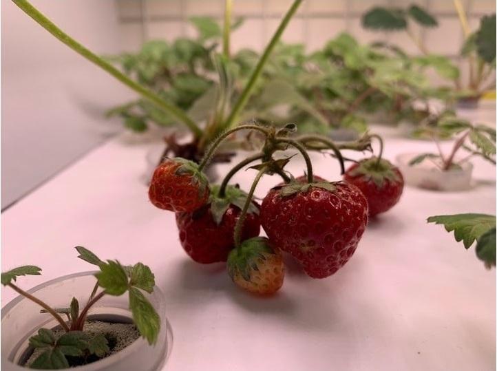 Выращивание земляники в садовой ферме